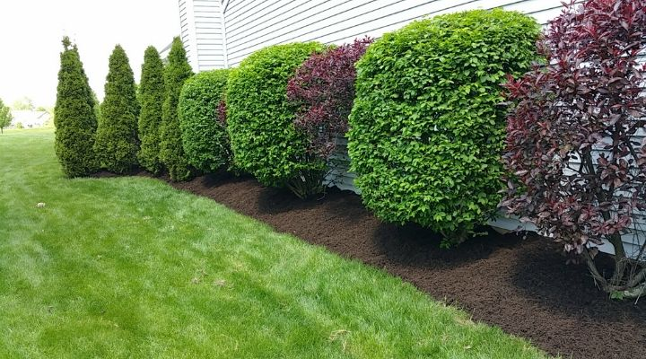Freshly pruned hedge row in a mulched flower bed.